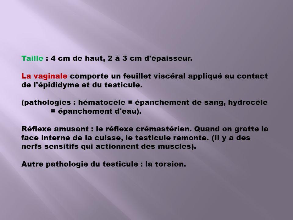 Taille : 4 cm de haut, 2 à 3 cm d'épaisseur. La vaginale comporte un feuillet viscéral appliqué au contact de l'épididyme et du testicule. (pathologie