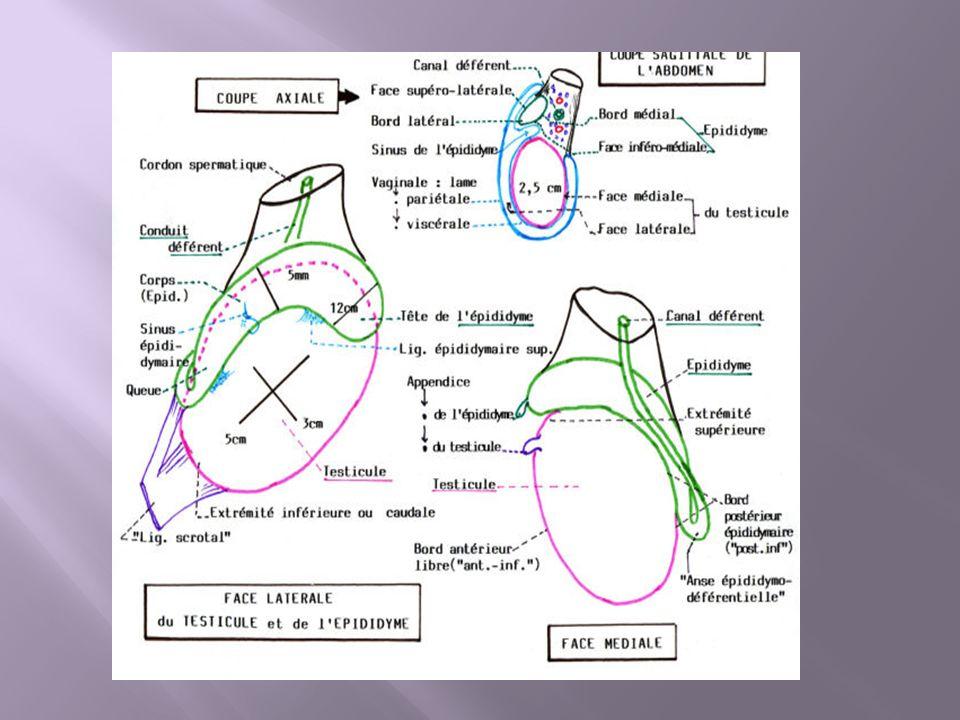 La Verge / Urètre Antérieur Au dessous de l urètre membraneux commence l urètre spongieux, qui se prolonge dans l urètre pénien).