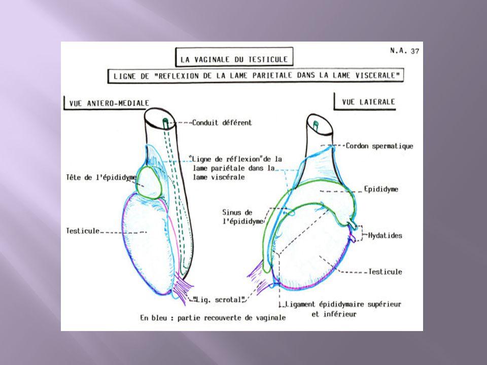 L urètre est palpable à la face inférieure de la verge.