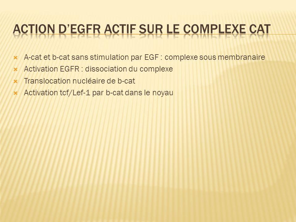 A-cat et b-cat sans stimulation par EGF : complexe sous membranaire Activation EGFR : dissociation du complexe Translocation nucléaire de b-cat Activa
