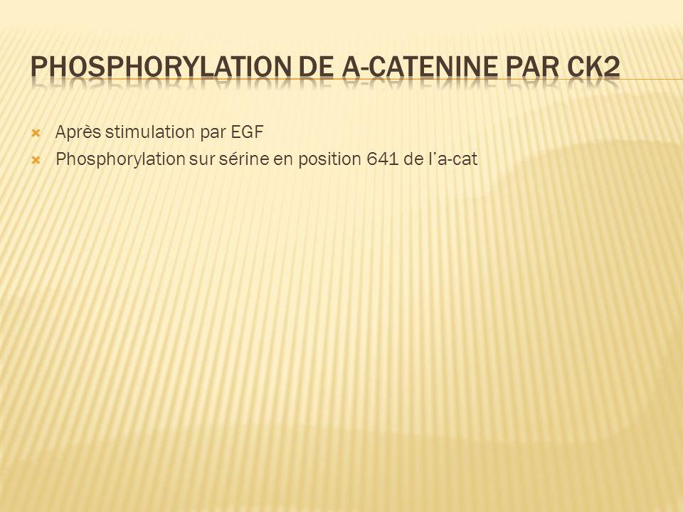 Après stimulation par EGF Phosphorylation sur sérine en position 641 de la-cat