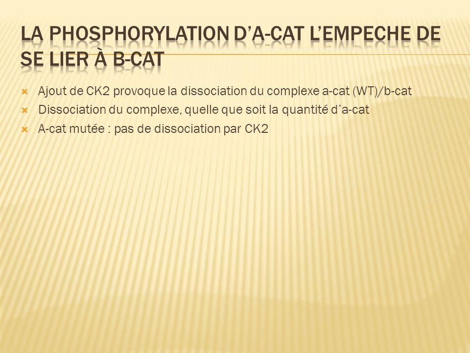 Ajout de CK2 provoque la dissociation du complexe a-cat (WT)/b-cat Dissociation du complexe, quelle que soit la quantité da-cat A-cat mutée : pas de d