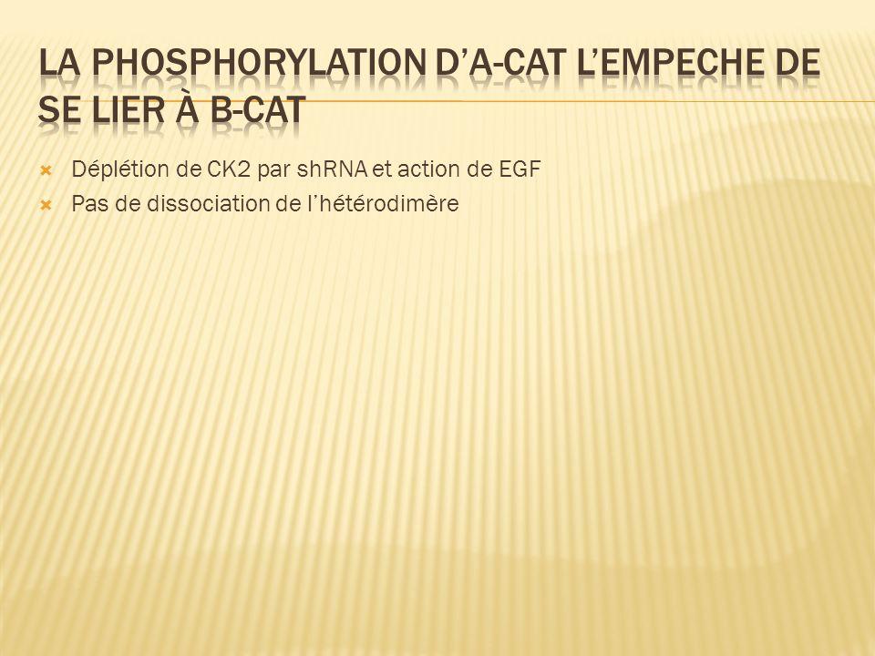 Déplétion de CK2 par shRNA et action de EGF Pas de dissociation de lhétérodimère