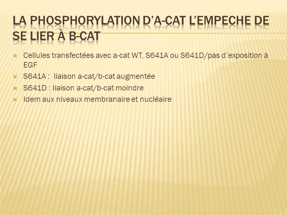 Cellules transfectées avec a-cat WT, S641A ou S641D/pas dexposition à EGF S641A : liaison a-cat/b-cat augmentée S641D : liaison a-cat/b-cat moindre Id