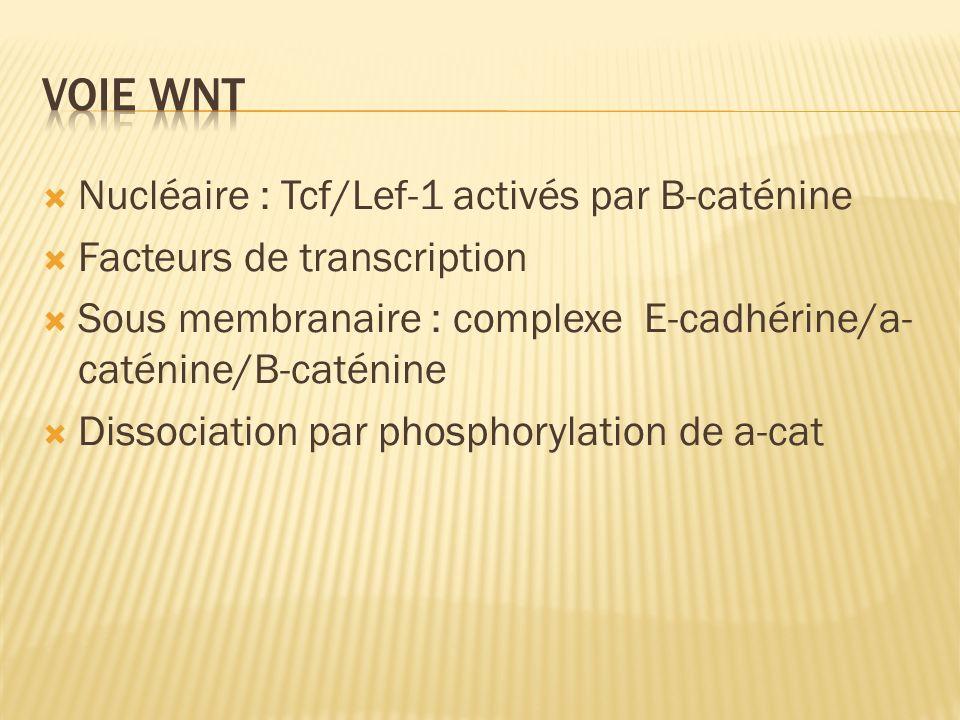 Nucléaire : Tcf/Lef-1 activés par B-caténine Facteurs de transcription Sous membranaire : complexe E-cadhérine/a- caténine/B-caténine Dissociation par