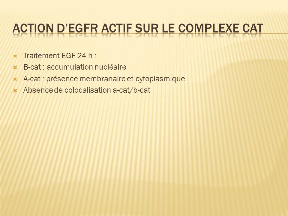 Traitement EGF 24 h : B-cat : accumulation nucléaire A-cat : présence membranaire et cytoplasmique Absence de colocalisation a-cat/b-cat