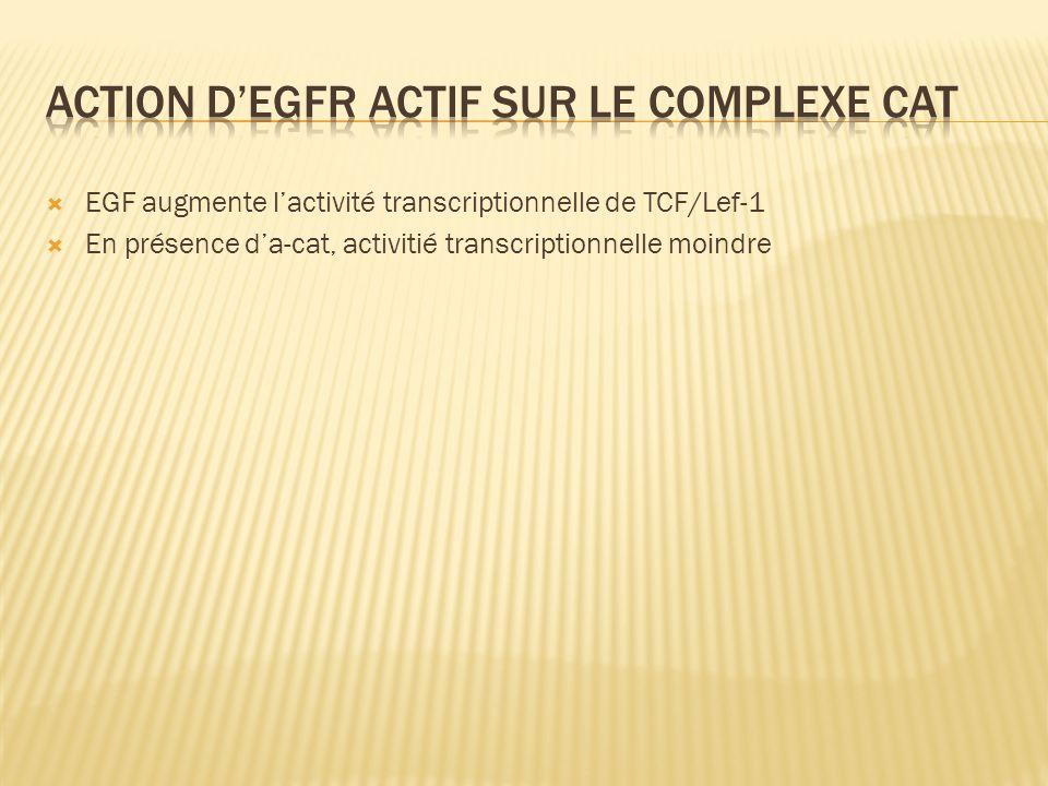 EGF augmente lactivité transcriptionnelle de TCF/Lef-1 En présence da-cat, activitié transcriptionnelle moindre