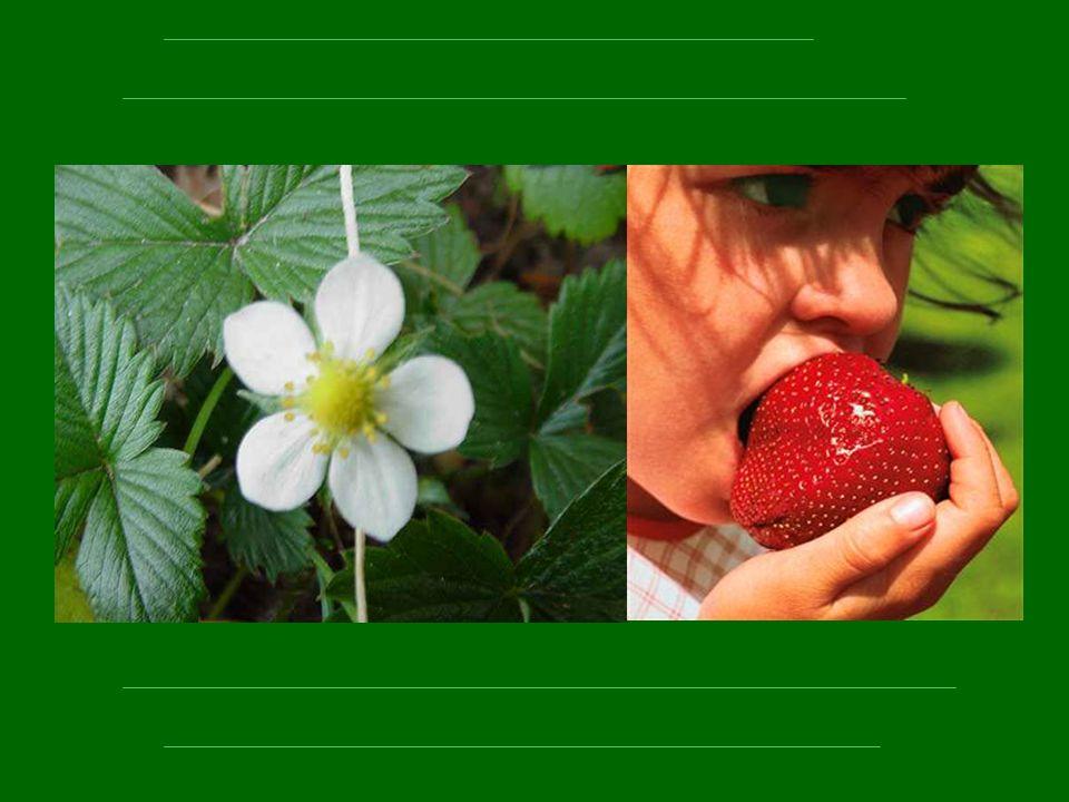 Par le discret fraisier qui fait nos délices l été