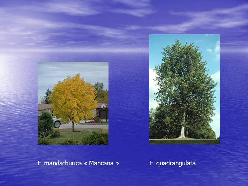 F. mandschurica « Mancana » F. quadrangulata