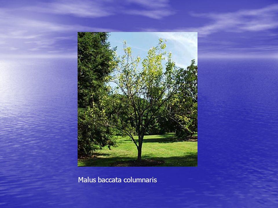 Malus baccata columnaris