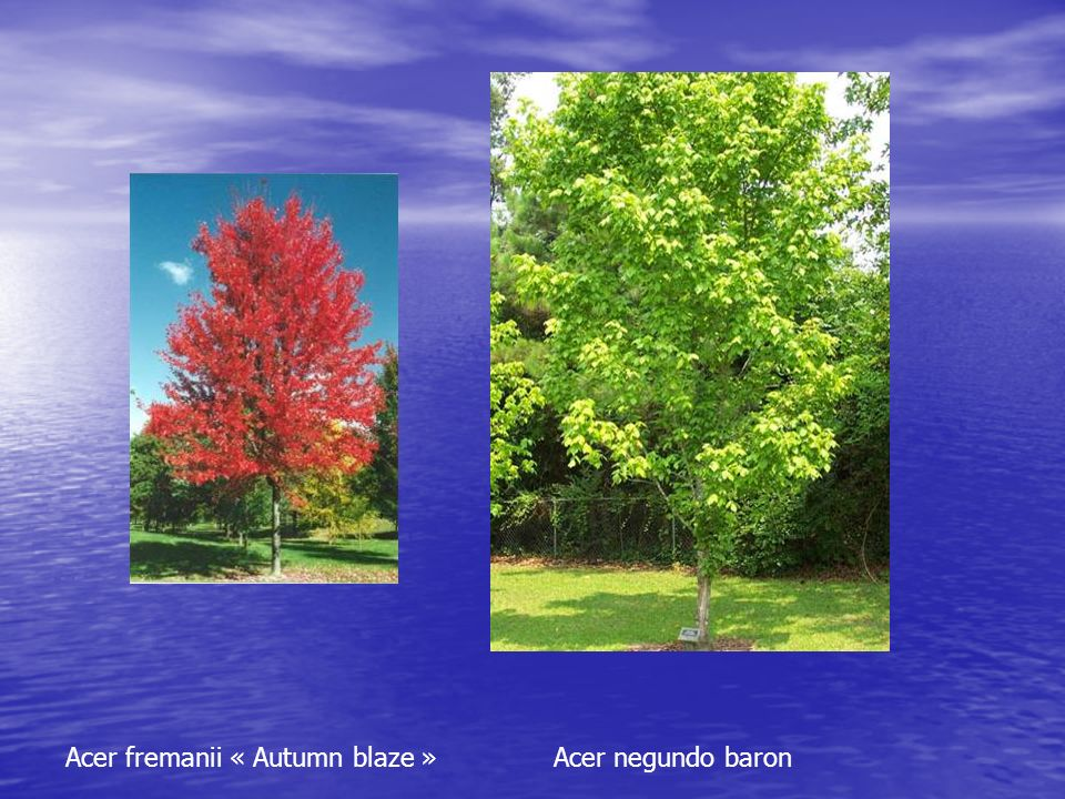 Acer fremanii « Autumn blaze » Acer negundo baron