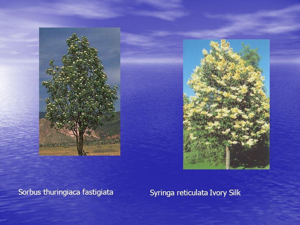 Sorbus thuringiaca fastigiata Syringa reticulata Ivory Silk