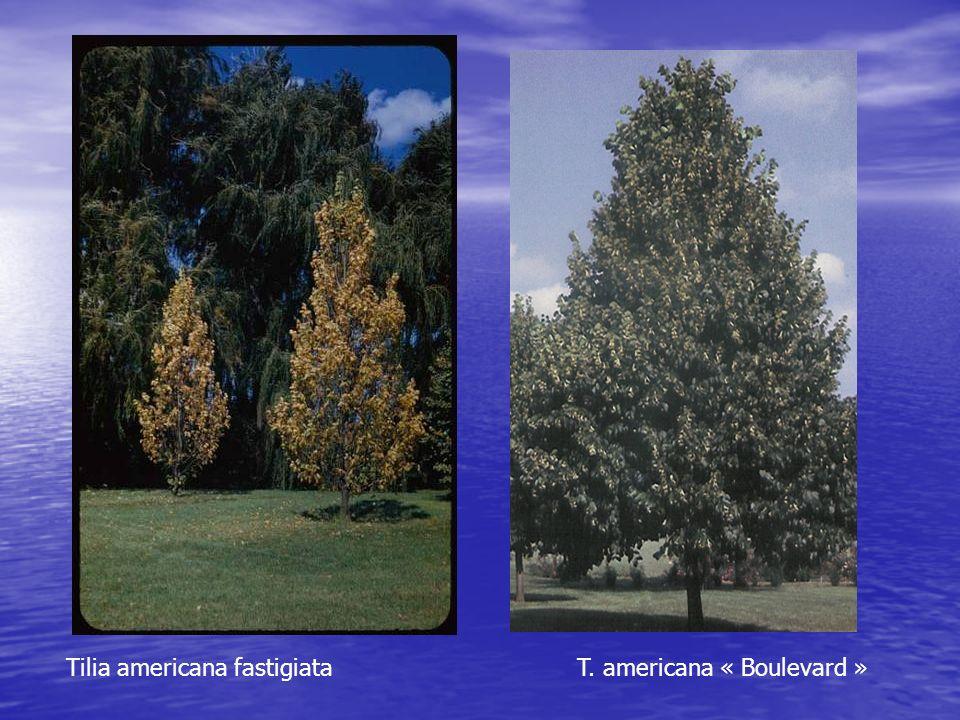 Tilia americana fastigiata T. americana « Boulevard »