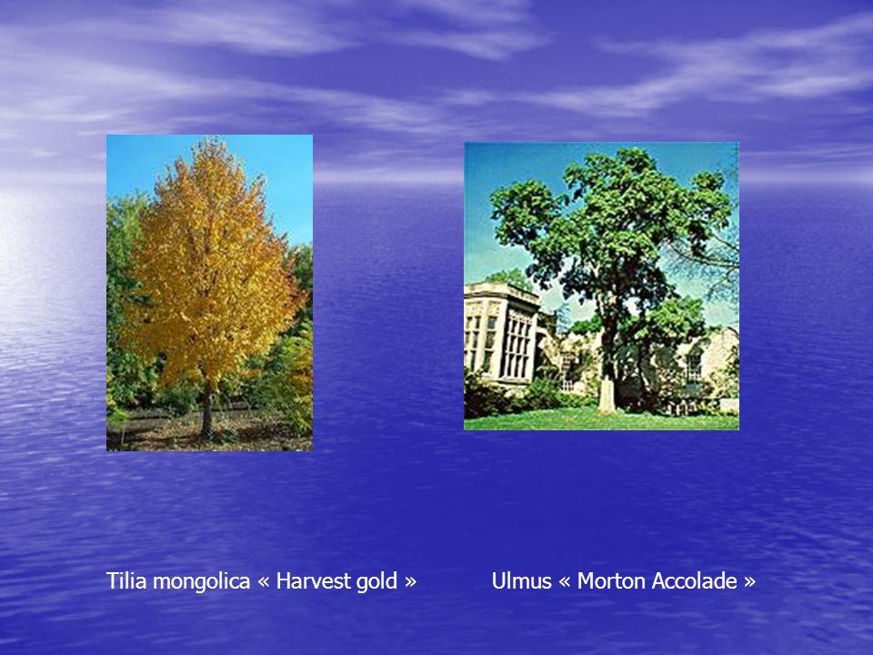 Tilia mongolica « Harvest gold » Ulmus « Morton Accolade »