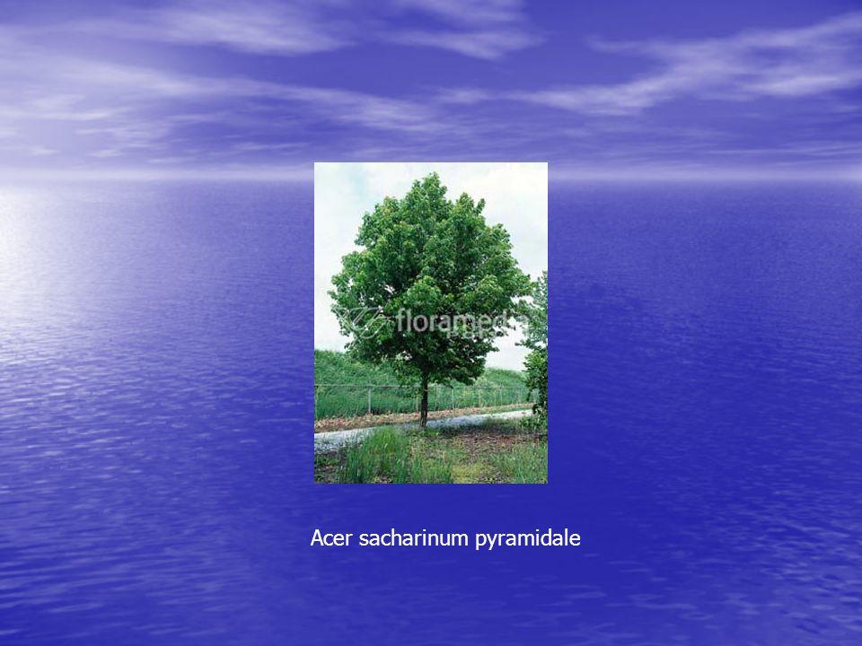 Acer sacharinum pyramidale