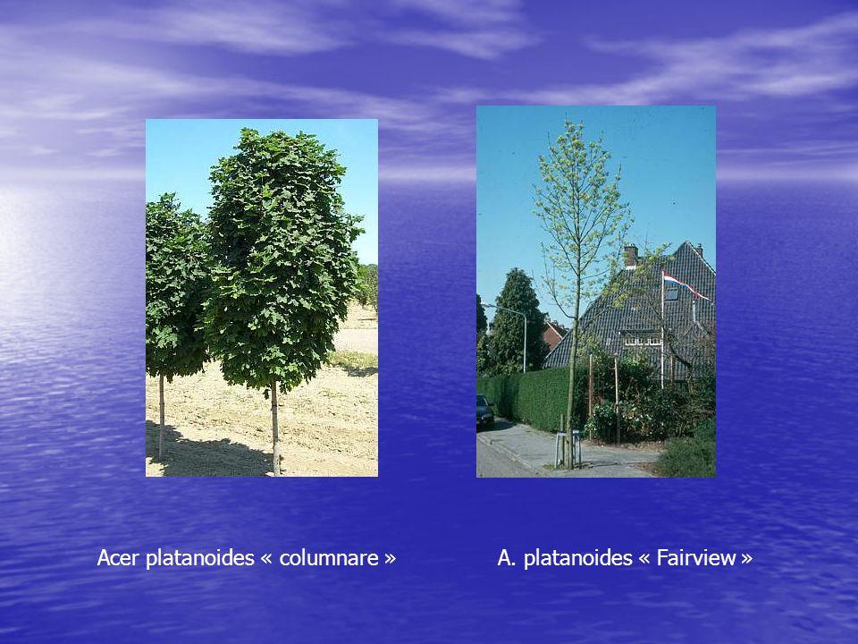 Acer platanoides « columnare » A. platanoides « Fairview »