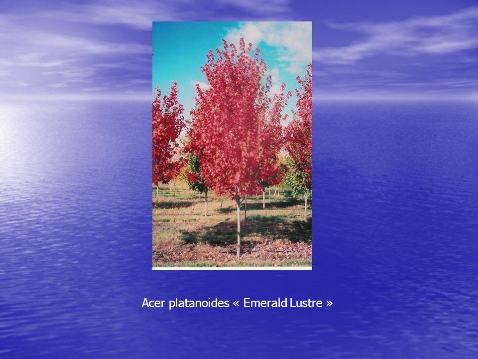Acer platanoides « Emerald Lustre »