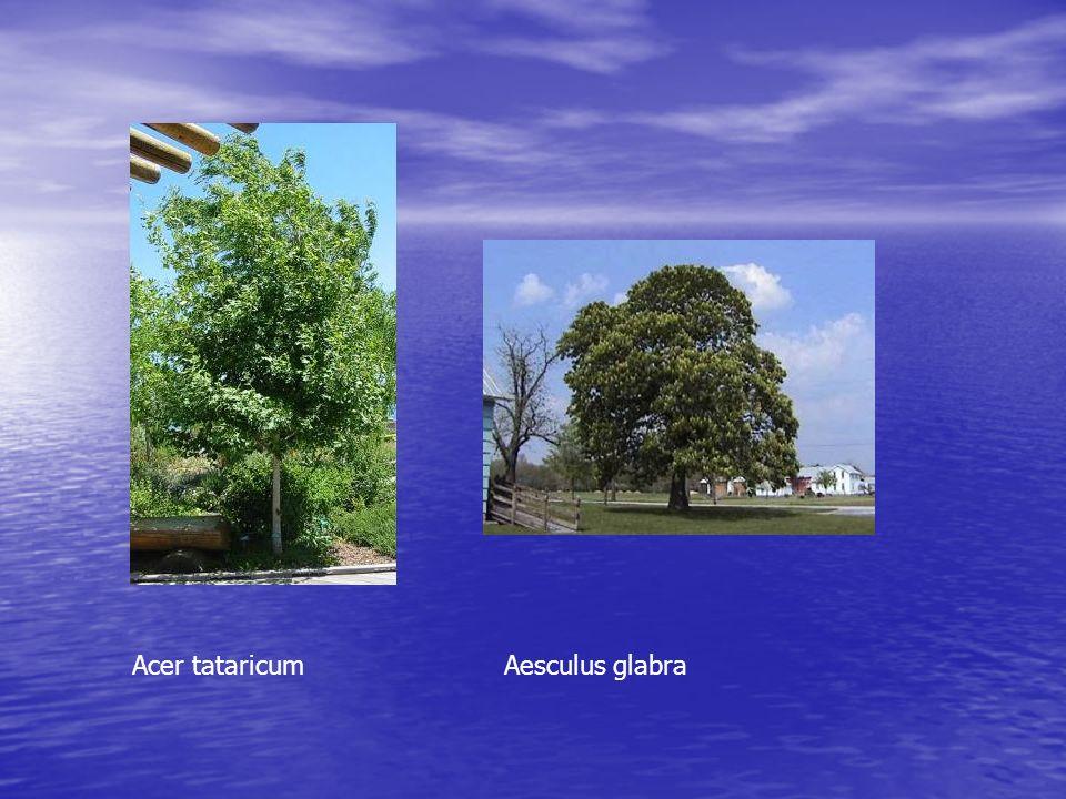 Quercus robur » fastigiata »