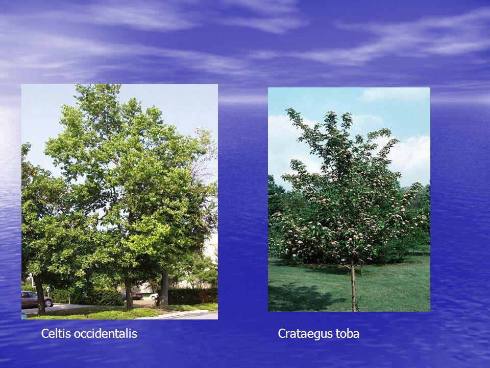 Celtis occidentalis Crataegus toba