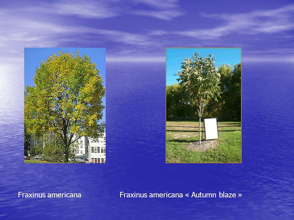 Fraxinus americana Fraxinus americana « Autumn blaze »