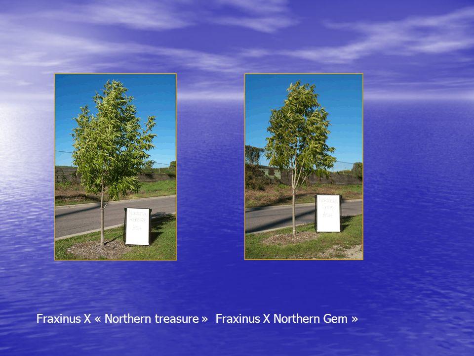 Fraxinus X « Northern treasure » Fraxinus X Northern Gem »