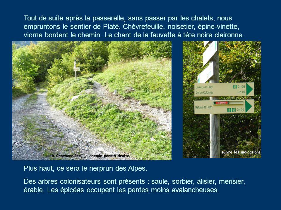 A la sortie de la forêt, 1600m, qui est une forêt classée «de protection» par lONF, donc non exploitée, les lanches montent jusquà la falaise de lUrgonien.
