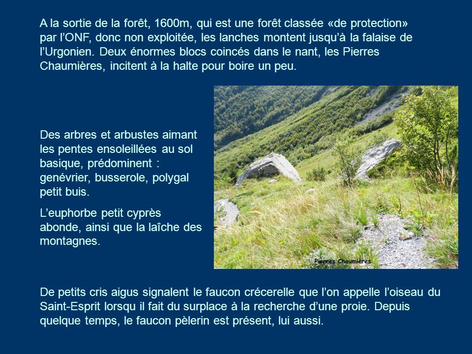 A la sortie de la forêt, 1600m, qui est une forêt classée «de protection» par lONF, donc non exploitée, les lanches montent jusquà la falaise de lUrgo