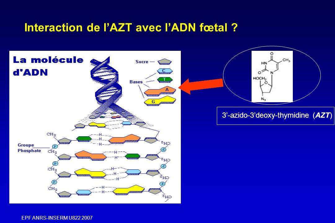 EPF ANRS-INSERM U822 2007 Exposition fœtale à l AZT +/- 3TC 1/ ADN mitochondrial Intégration AZT Anomalies quantitatives Anomalies qualitatives Conséquences cliniques: -1/3 hyperlactatemie asymptomatique et réversible - 0, 5% symptômes neurologiques sévères (B.
