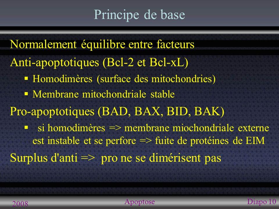 2008 ApoptoseDiapo 10 Principe de base Normalement équilibre entre facteurs Anti-apoptotiques (Bcl-2 et Bcl-xL) Homodimères (surface des mitochondries