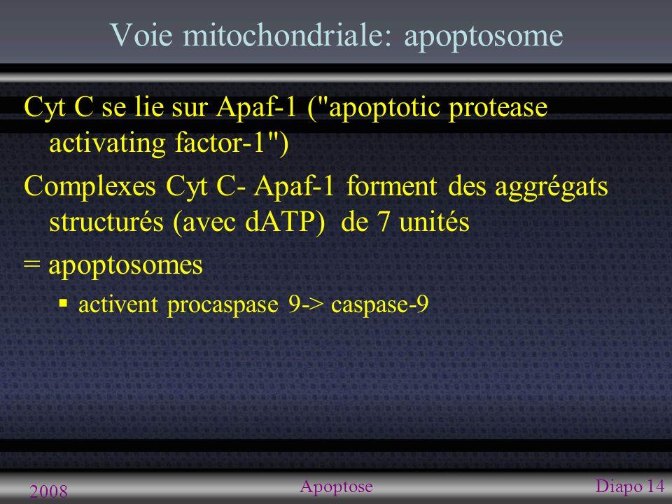 2008 ApoptoseDiapo 14 Voie mitochondriale: apoptosome Cyt C se lie sur Apaf-1 (
