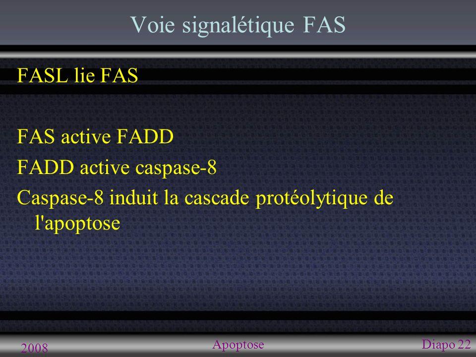 2008 ApoptoseDiapo 22 Voie signalétique FAS FASL lie FAS FAS active FADD FADD active caspase-8 Caspase-8 induit la cascade protéolytique de l'apoptose