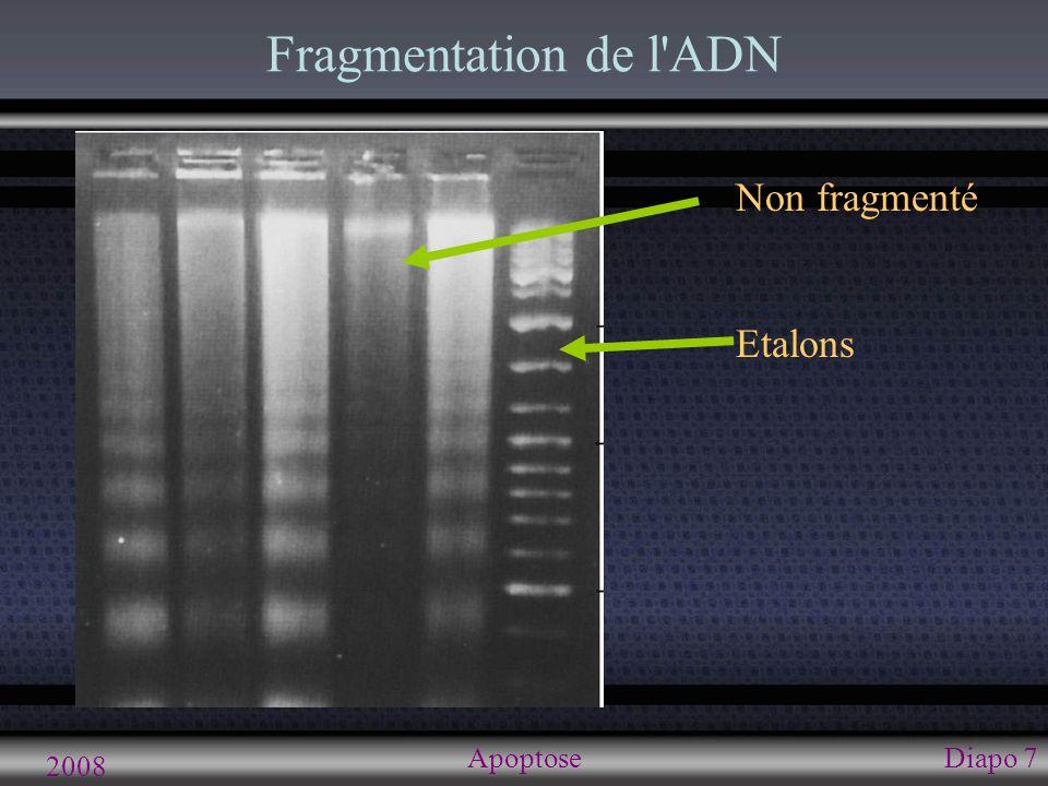 2008 ApoptoseDiapo 7 Fragmentation de l'ADN Non fragmenté Etalons