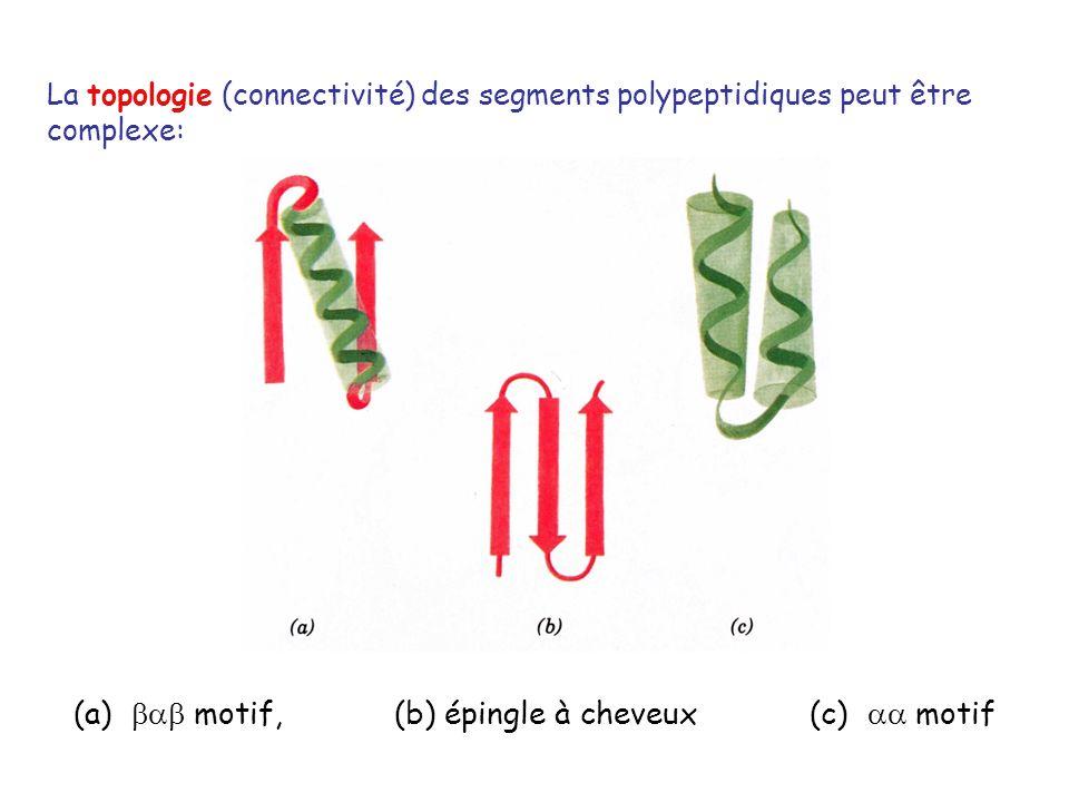 La topologie (connectivité) des segments polypeptidiques peut être complexe: (a) motif, (b) épingle à cheveux (c) motif