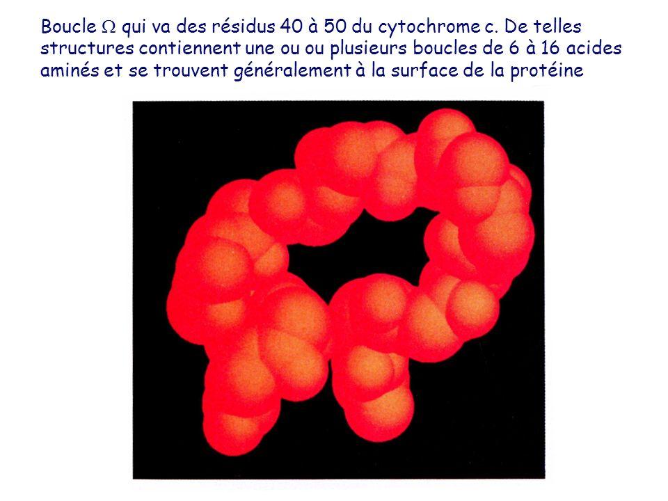 Boucle qui va des résidus 40 à 50 du cytochrome c. De telles structures contiennent une ou ou plusieurs boucles de 6 à 16 acides aminés et se trouvent
