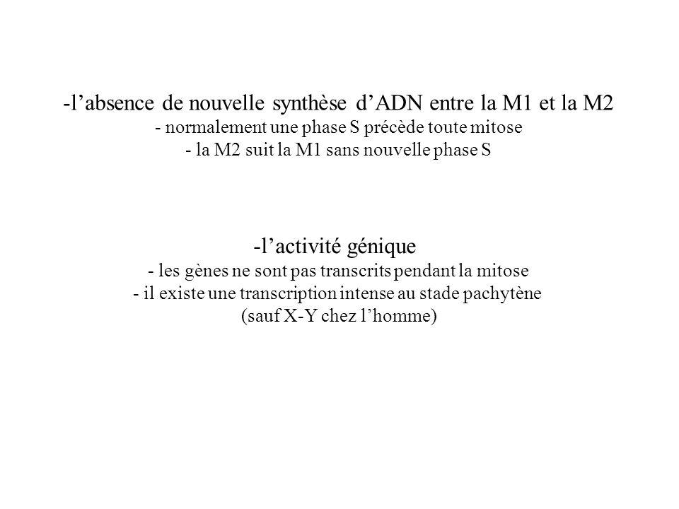 -lactivité génique - les gènes ne sont pas transcrits pendant la mitose - il existe une transcription intense au stade pachytène (sauf X-Y chez lhomme