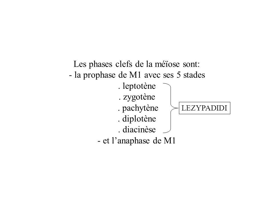Les phases clefs de la méïose sont: - la prophase de M1 avec ses 5 stades. leptotène. zygotène. pachytène. diplotène. diacinèse - et lanaphase de M1 L