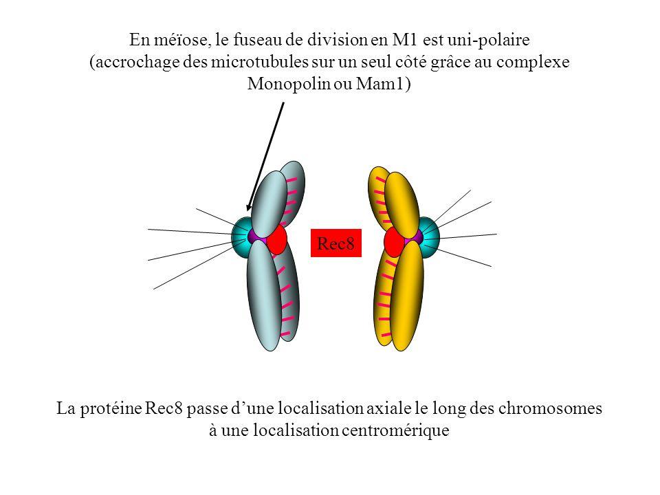 En méïose, le fuseau de division en M1 est uni-polaire (accrochage des microtubules sur un seul côté grâce au complexe Monopolin ou Mam1) Rec8 La prot