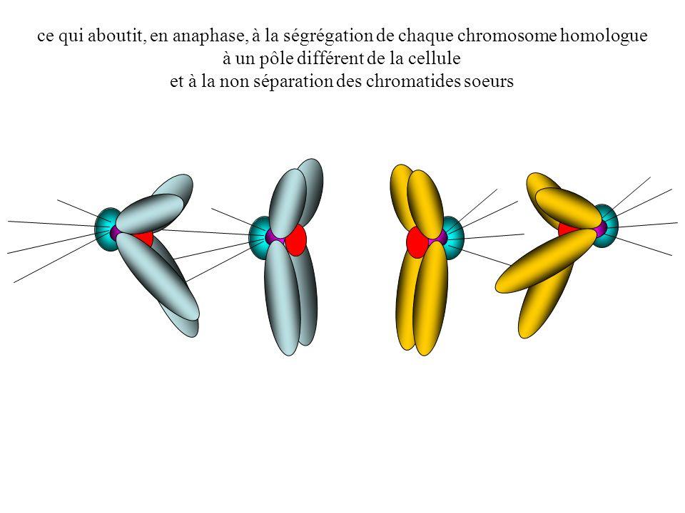 ce qui aboutit, en anaphase, à la ségrégation de chaque chromosome homologue à un pôle différent de la cellule et à la non séparation des chromatides