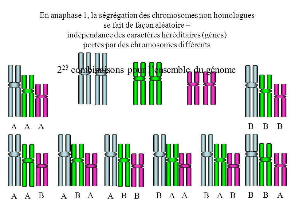 En anaphase 1, la ségrégation des chromosomes non homologues se fait de façon aléatoire = indépendance des caractères héréditaires (gènes) portés par