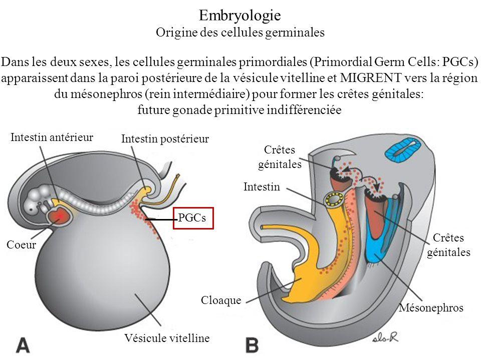 Dans le sexe mâle, la différenciation de la gonade primitive en testicule aboutit à la formation de tubes séminifères primitifs (PGCs et cellules de Sertoli) dans lesquels les PGCs vont bloquer leur maturation au stade de futures cellules souches de la spermatogenèse Spermatogenèse ou production de gamètes matures continue tout au long de la vie PUBERTE Reprise de la maturation des cellules germinales Embryologie Evolution des cellules germinales