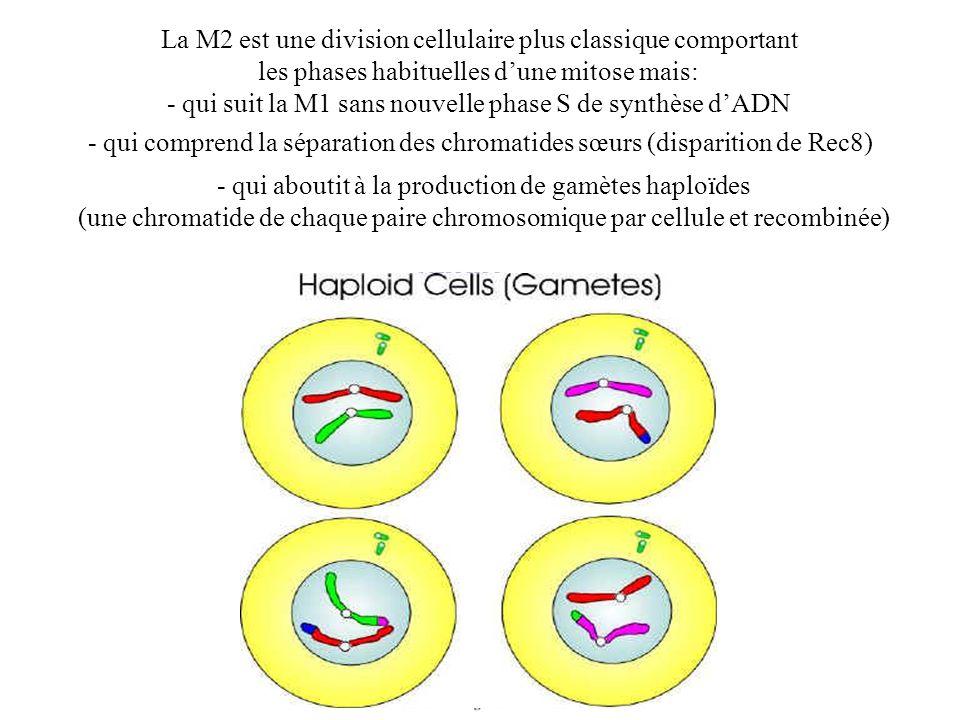 La M2 est une division cellulaire plus classique comportant les phases habituelles dune mitose mais: - qui suit la M1 sans nouvelle phase S de synthès