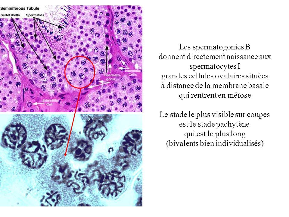 Les spermatogonies B donnent directement naissance aux spermatocytes I grandes cellules ovalaires situées à distance de la membrane basale qui rentren