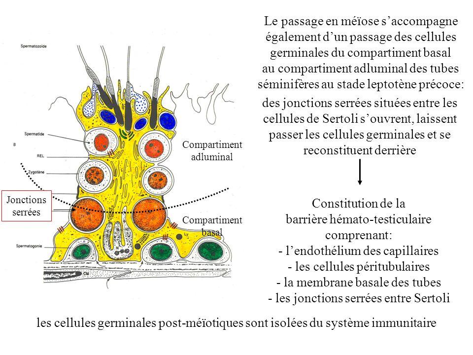 Le passage en méïose saccompagne également dun passage des cellules germinales du compartiment basal au compartiment adluminal des tubes séminifères a