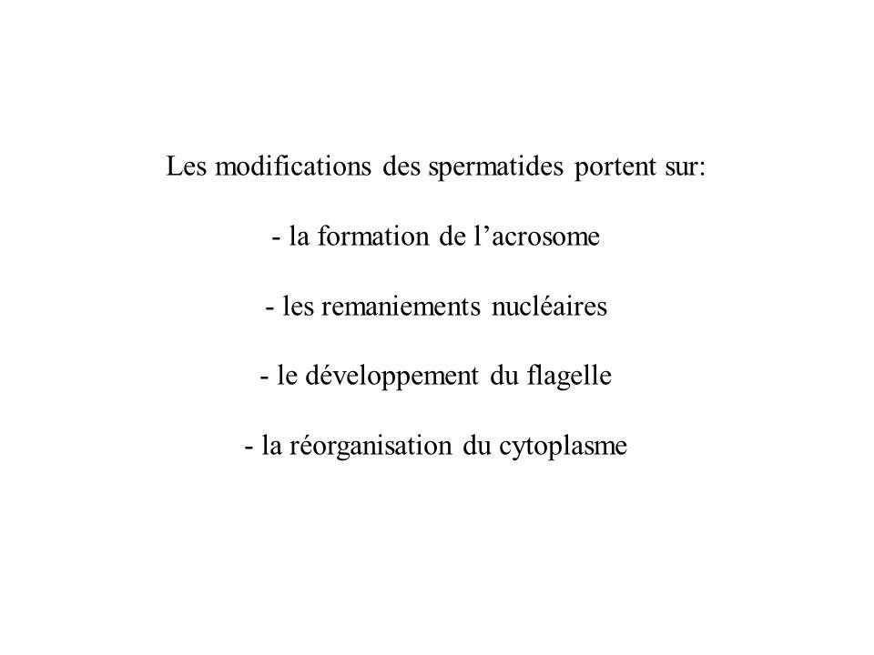 Les modifications des spermatides portent sur: - la formation de lacrosome - les remaniements nucléaires - le développement du flagelle - la réorganis