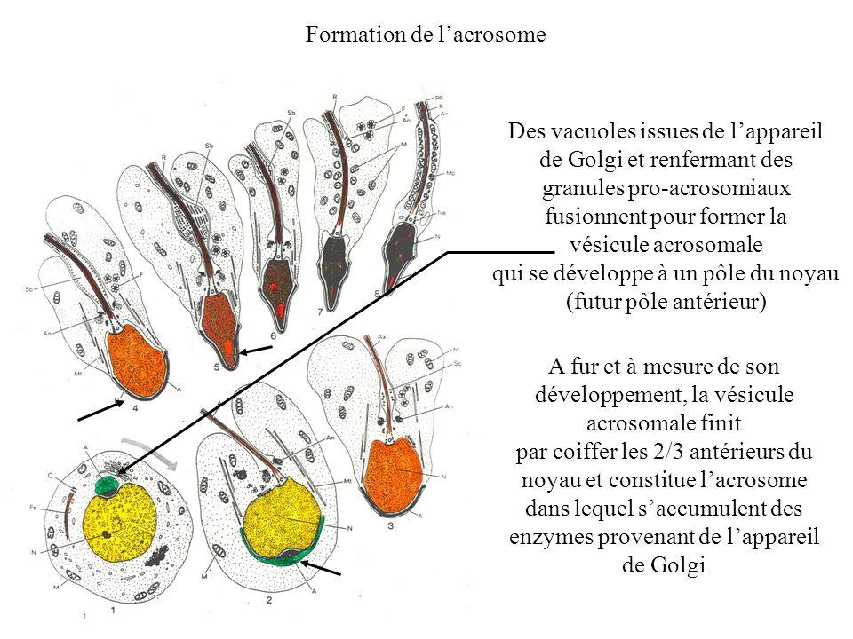 Formation de lacrosome Des vacuoles issues de lappareil de Golgi et renfermant des granules pro-acrosomiaux fusionnent pour former la vésicule acrosom