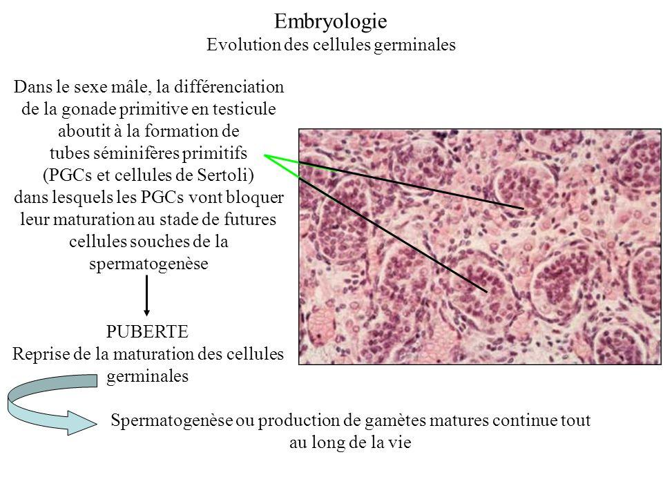 Dans le sexe mâle, la différenciation de la gonade primitive en testicule aboutit à la formation de tubes séminifères primitifs (PGCs et cellules de S