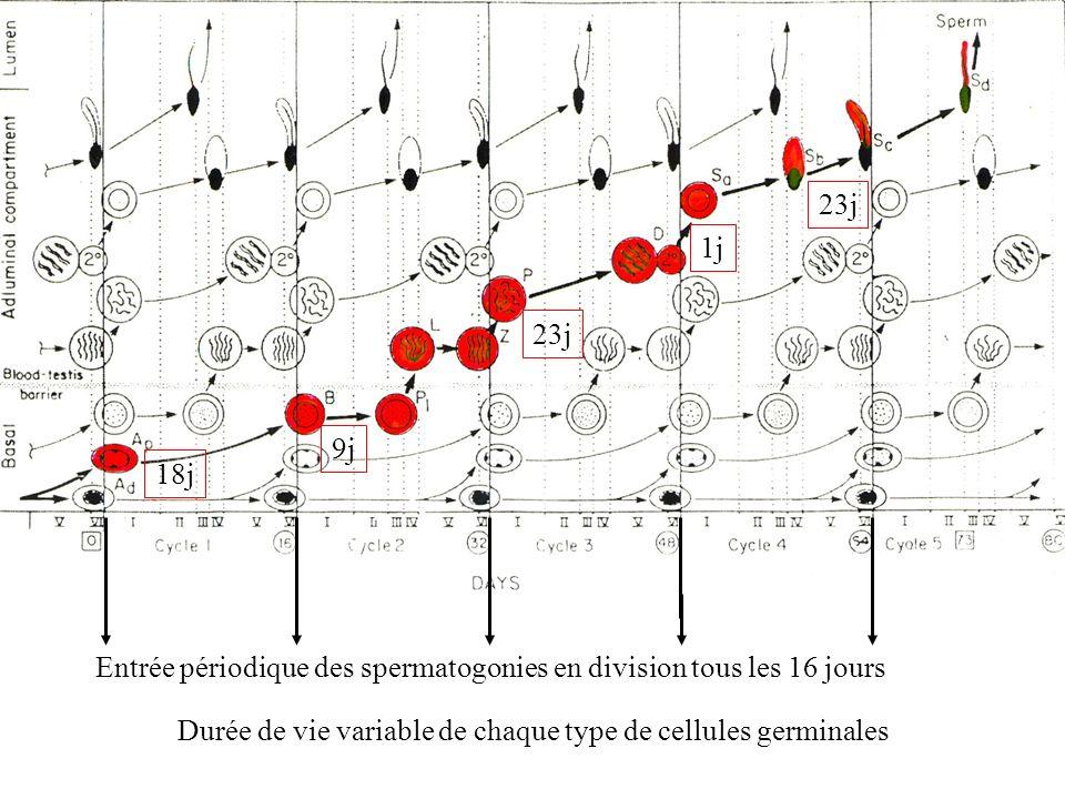 Entrée périodique des spermatogonies en division tous les 16 jours 18j 9j 23j 1j 23j Durée de vie variable de chaque type de cellules germinales