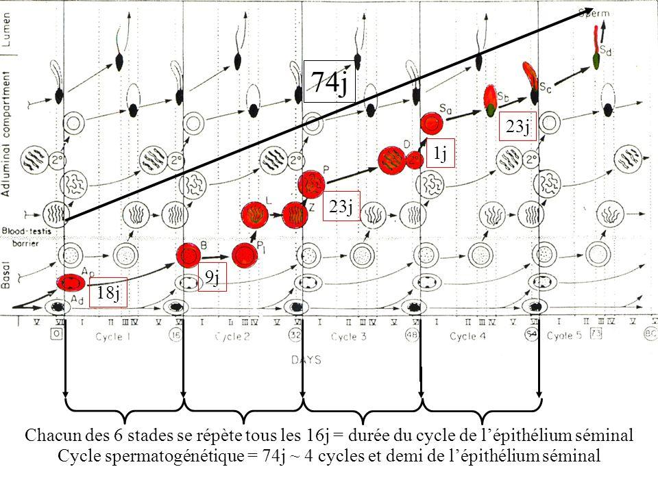 18j 9j 23j 1j 23j Chacun des 6 stades se répète tous les 16j = durée du cycle de lépithélium séminal 74j Cycle spermatogénétique = 74j ~ 4 cycles et d