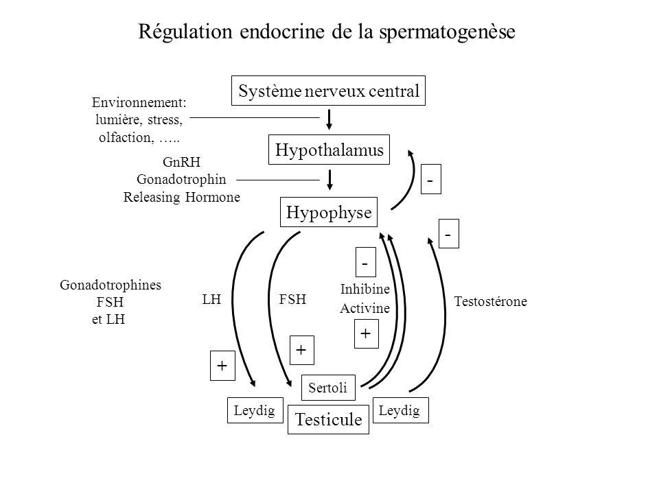 Régulation endocrine de la spermatogenèse Système nerveux central Hypophyse GnRH Gonadotrophin Releasing Hormone Hypothalamus Environnement: lumière,