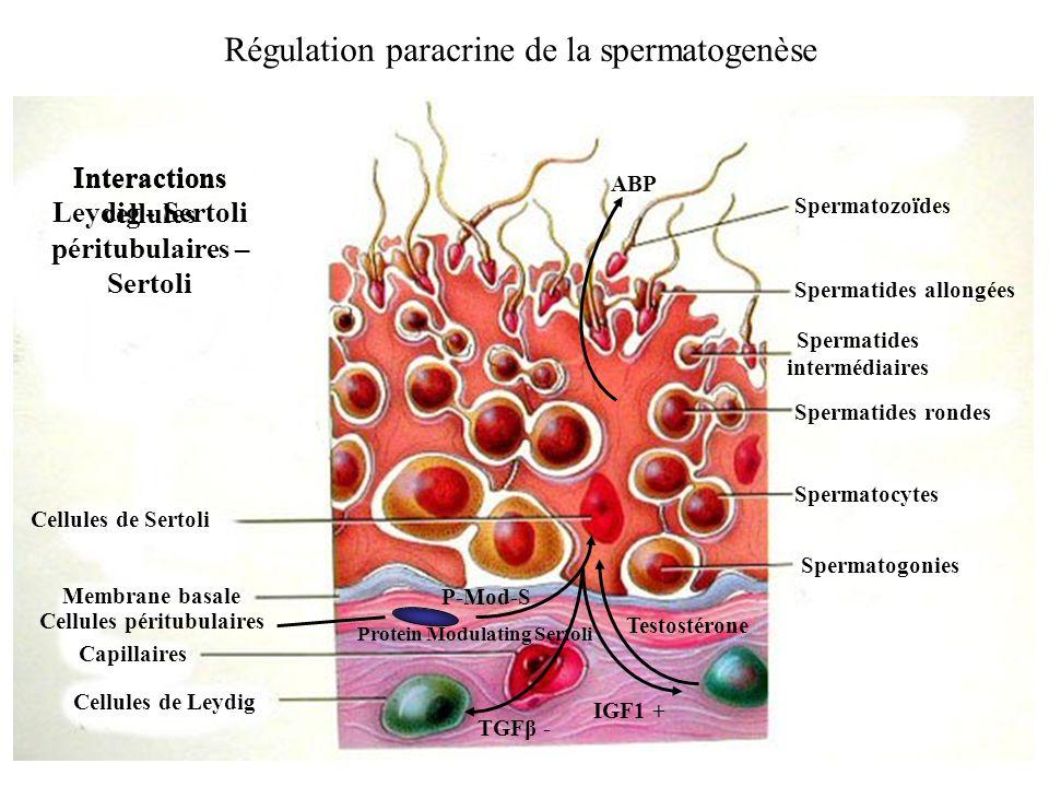 Régulation paracrine de la spermatogenèse Cellules de Leydig Cellules de Sertoli Capillaires Membrane basale Spermatogonies Spermatozoïdes Spermatides